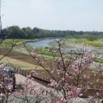 遅咲きの桜と思川